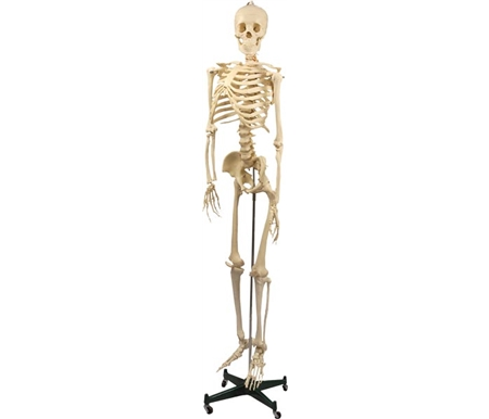 Plastic Skeleton